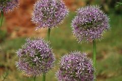 Grupo de flor roxa dos bulbos do allium imagens de stock