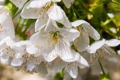 Grupo de flores abiertas de la cereza fotografía de archivo libre de regalías