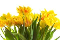 Grupo de flores amarelas do tulip Foto de Stock