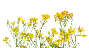 Grupo de flores amarelas selvagens isoladas no branco Fotografia de Stock Royalty Free
