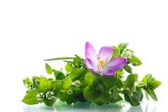Grupo de flores com açafrões Imagem de Stock Royalty Free