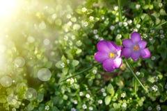 Grupo de flores com açafrões Imagens de Stock Royalty Free