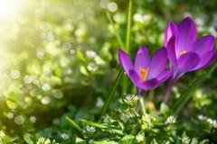 Grupo de flores com açafrões Fotografia de Stock Royalty Free