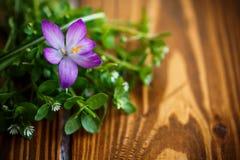 Grupo de flores com açafrões Fotografia de Stock