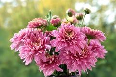 Grupo de flores cor-de-rosa do crisântemo fotografia de stock royalty free