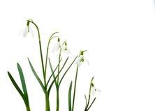 Grupo de flores crescentes do snowdrop isoladas imagens de stock royalty free