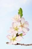 Grupo de flores da árvore de amêndoa fotografia de stock