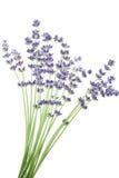 Grupo de flores da alfazema Fotos de Stock