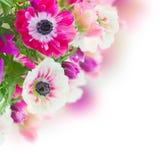 Grupo de flores da anêmona Imagens de Stock Royalty Free