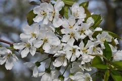Grupo de flores da cereja Imagens de Stock Royalty Free