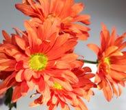 Grupo de flores da margarida alaranjada imagens de stock