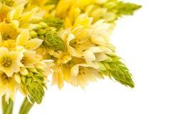 Grupo de flores de estrela--bethlehem foto de stock royalty free