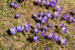 Grupo de flores de florescência da mola dos açafrões Foto de Stock