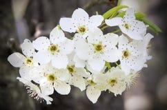 Grupo de flores de la pera Fotos de archivo