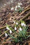 Grupo de flores del snowdrop Imagen de archivo libre de regalías