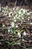 Grupo de flores del snowdrop Foto de archivo libre de regalías
