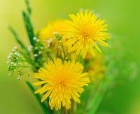 Grupo de flores. Dentes-de-leão amarelos do verão e grama verde Imagens de Stock Royalty Free