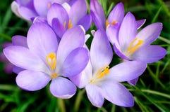 Grupo de flores do açafrão Foto de Stock