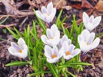 Grupo de flores do açafrão na primavera Imagem de Stock Royalty Free
