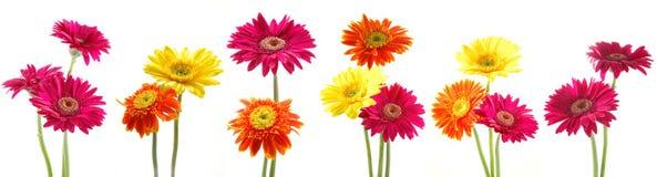 Grupo de flores do gerbera Imagens de Stock