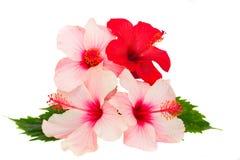 Grupo de flores do hibiscus Imagem de Stock