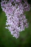 Grupo de flores do lilac Fotografia de Stock Royalty Free