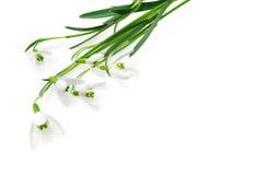 Grupo de flores do snowdrop isoladas fotografia de stock