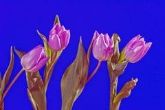 Grupo de flores do tulip Imagem de Stock Royalty Free