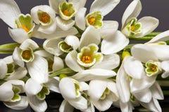 Grupo de flores dos snowdrops isolados no fundo preto - ascendente próximo Fotografia de Stock Royalty Free