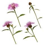 Grupo de flores e de botões do cardo Imagem de Stock Royalty Free