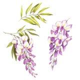 Grupo de flores e de folhas da glicínia Ilustração da aquarela da tração da mão Foto de Stock Royalty Free