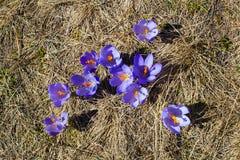 Grupo de flores de florescência da mola dos açafrões Imagens de Stock