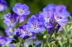 Grupo de flores, geranio Rozanne de Cranesbills en la floración Imagen de archivo libre de regalías