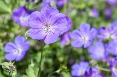 Grupo de flores, geranio Rozanne de Cranesbills en la floración Fotografía de archivo libre de regalías