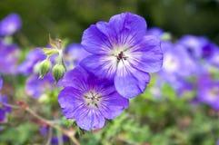 Grupo de flores, geranio Rozanne de Cranesbills en la floración Imágenes de archivo libres de regalías