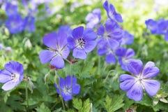Grupo de flores, geranio Rozanne de Cranesbills en la floración Fotos de archivo libres de regalías