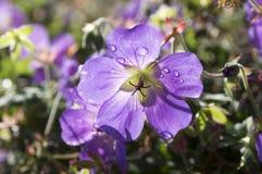 Grupo de flores, geranio Rozanne de Cranesbills en la floración Fotos de archivo