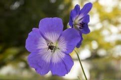 Grupo de flores, geranio Rozanne de Cranesbills en la floración Fotografía de archivo