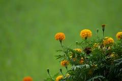 Grupo de flores de la maravilla, el crecer de flores tropical en el fondo orgánico del campo del arroz y de las hojas del verde fotografía de archivo