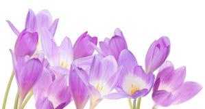 Grupo de flores lilás do açafrão isoladas no branco Imagens de Stock Royalty Free