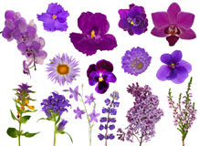 Grupo de flores lilás da cor isoladas no branco Imagem de Stock
