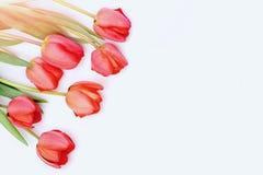 Grupo de flores para o dia das mulheres Tulips na cor cor-de-rosa Imagem de Stock Royalty Free