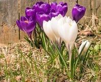 Grupo de flores roxas abertas do açafrão Fotos de Stock Royalty Free