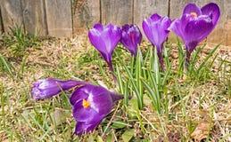 Grupo de flores roxas abertas do açafrão Imagens de Stock Royalty Free