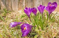 Grupo de flores roxas abertas do açafrão Foto de Stock Royalty Free