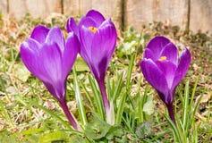 Grupo de flores roxas abertas do açafrão Fotos de Stock