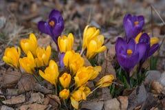 Grupo de flores roxas e amarelas do açafrão Fotos de Stock Royalty Free