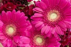 Grupo de flores vermelho brilhante do jardim Imagens de Stock Royalty Free