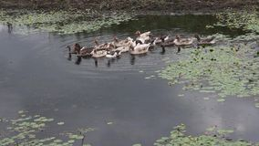 Grupo de flotación de los patos metrajes