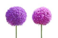 Grupo de Flower do gladiador do Allium Imagens de Stock